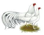 Yokohama White Chickens