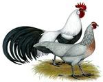 Phoenix Silver Chickens