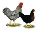 Black Sex-linked Chicken Pair