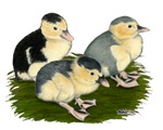 Blue Magpie Ducklings