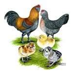 Ameraucana Chicken Family