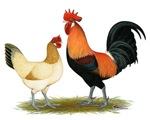 Penedesenca Chickens