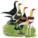 Modern Game Roosters