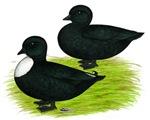 Black Call Ducks