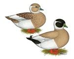 Penciled Call Ducks