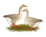 Tufted  Buff Geese