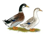 Appleyard Silver Ducks
