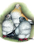Chinese Owl Pigeons