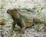 E Iguana