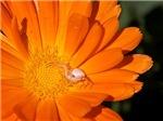 Bright Orange Mum w/ White Spider