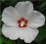 Lovely Rose of Sharon