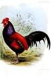 Vintage Illustration of a Rooster