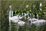 Trumpeter Swan and Brood