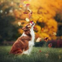Dog Catching Leaves