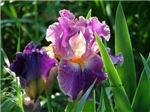 0459 Purple Iris