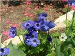 0354 Purple Anemone