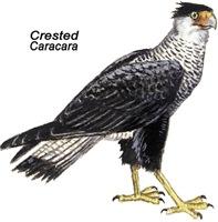 Crested Caracara Bird