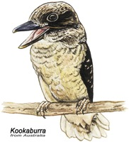 Kookaburra Australian Bird
