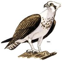 Osprey Bird of Prey