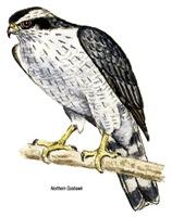 Northern Goshawk Hawk