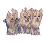 3 Little Yorkies