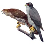 Goshawk T-Shirts