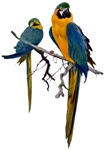 Blue & Gold Macaw T-Shirts