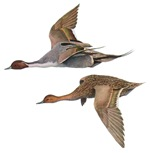Pintails T-Shirts