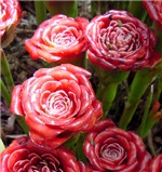 Tulip Torch Ginger