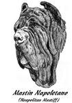 Neapolitan Mastiff - 2 images