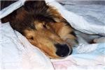 Blanket Collie
