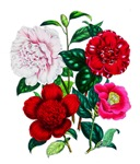 Camellias by Loudon