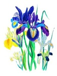 Blue and Yellow Iris by Loudon