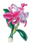 Tropical Pink Cattleya Orchid by Loudon