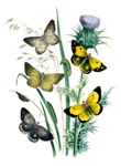 Butterflies of Summer