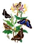 Butterflies and Honeysuckle