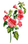 Tree Mallow Drawn From Nature