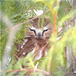 Northern Saw-whet Owl items