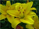 .yellow lily.
