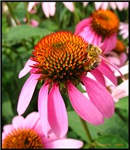 .bee on coneflower.