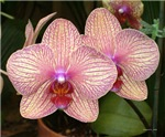 .phalenopsis duo.