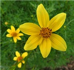 .coreopsis.