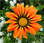 .gazania.