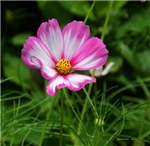 .bicolor cosmos.  I