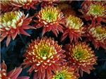 .bicolor mums.