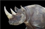 Black Rhino 4