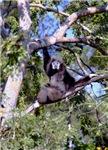Female Gibbon In A Tree