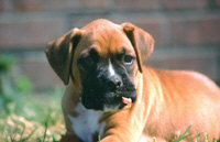 Boxer Pup with Stick