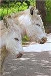 Dozing Donkeys