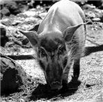 Evil Pig